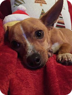 Chihuahua Mix Dog for adoption in Vancouver, British Columbia - Thomas