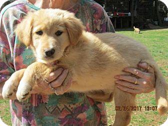 Golden Retriever/German Shepherd Dog Mix Puppy for adoption in Rutherfordton, North Carolina - WINSTON