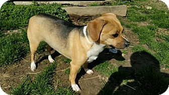 Beagle Mix Dog for adoption in Ashville, Ohio - Dixie