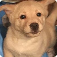 Adopt A Pet :: Molly mini lab x litter 7 - Pompton Lakes, NJ