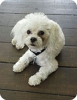 Maltese/Poodle (Miniature) Mix Puppy for adoption in Ft. Lauderdale, Florida - Buddy