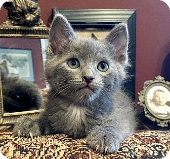 Russian Blue Kitten for adoption in Sherman Oaks, California - Jamie