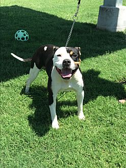Staffordshire Bull Terrier Mix Dog for adoption in Beverly Hills, California - Bruno @ Tulare Animal Shelter