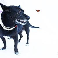 Adopt A Pet :: Dita Von Cheeseburger - Los Angeles, CA