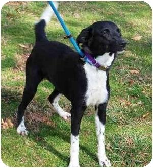 Labrador Retriever Mix Dog for adoption in kennebunkport, Maine - Skipo-ADOPTED!