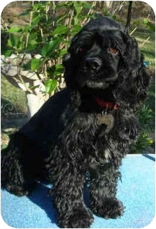 Cocker Spaniel Dog for adoption in Sugarland, Texas - Garrison