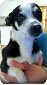 Terrier (Unknown Type, Small) Mix Dog for adoption in Gahanna, Ohio - Joey
