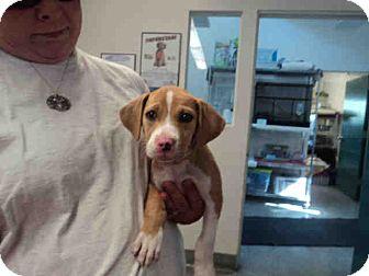 Pit Bull Terrier Mix Puppy for adoption in Santa Barbara, California - Clover