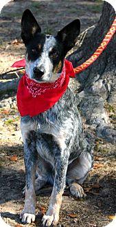 Australian Cattle Dog Dog for adoption in Muldrow, Oklahoma - Obadiah (Obie)