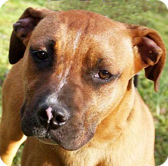 Boxer Mix Dog for adoption in Salem, New Hampshire - REX