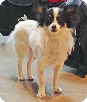 Papillon Mix Dog for adoption in Los Angeles, California - Peabody