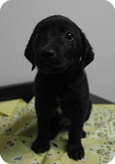 Labrador Retriever/Golden Retriever Mix Puppy for adoption in Seneca, South Carolina - Nitto $250