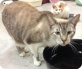 Siamese Cat for adoption in Miami, Florida - Nikko