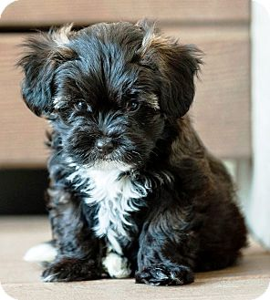 shih tzu poodle puppies benson adopted puppy battle creek mi toy poodle 2062