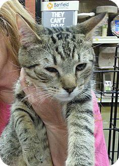Domestic Shorthair Kitten for adoption in Statesville, North Carolina - Rex
