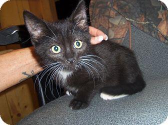 Domestic Shorthair Kitten for adoption in Medford, Wisconsin - SPENCER
