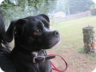 Pug/Boston Terrier Mix Dog for adoption in Stamford, Connecticut - Bucky