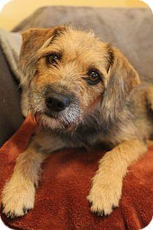 Border Terrier/Schnauzer (Miniature) Mix Dog for adoption in Staunton, Virginia - Yara