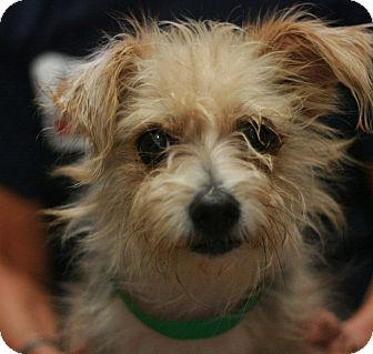 Terrier (Unknown Type, Small) Mix Dog for adoption in Canoga Park, California - Sarah