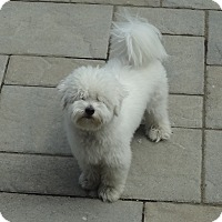 Adopt A Pet :: Mozart - Rigaud, QC