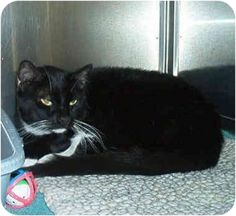 Domestic Mediumhair Cat for adoption in Overland Park, Kansas - Buddy