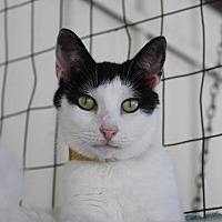 Domestic Shorthair Cat for adoption in New Bern, North Carolina - Briley