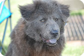 Chow Chow Puppy for adoption in Cleveland, Oklahoma - Smokey(Hermoine)