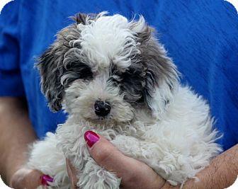 Australian Shepherd/Poodle (Miniature) Mix Puppy for adoption in Liberty Center, Ohio - Lilac