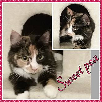 Calico Cat for adoption in Cedar Springs, Michigan - Sweet Pea