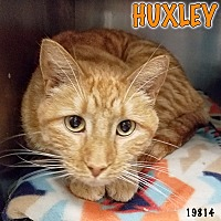 Adopt A Pet :: Huxley - Oak Ridge, TN