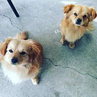 Adopt A Pet :: Chewy Boy and Bear Boy - Dana Point, CA