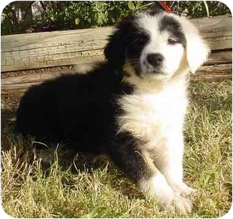 Border Collie Mix Puppy for adoption in Brenham, Texas - Annie