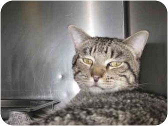Domestic Shorthair Cat for adoption in Saint Charles, Missouri - Eddie