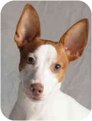Jack Russell Terrier/Rat Terrier Mix Dog for adoption in Chicago, Illinois - Ruby(ADOPTED!)