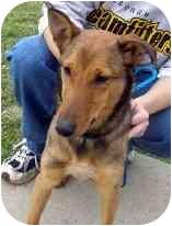 Sheltie, Shetland Sheepdog/Collie Mix Dog for adoption in Lombard, Illinois - Clover