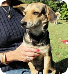 Dachshund/Shepherd (Unknown Type) Mix Dog for adoption in Londonderry, New Hampshire - Rocky