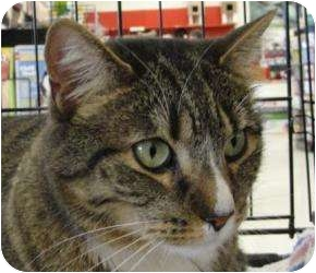 Domestic Shorthair Cat for adoption in Reading, Pennsylvania - Oliver