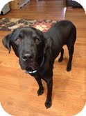 Labrador Retriever Mix Dog for adoption in Lewisville, Indiana - Nugent