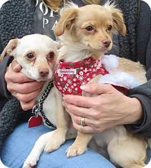 Chihuahua/Dachshund Mix Dog for adoption in Forked River, New Jersey - Sassy & Miracle