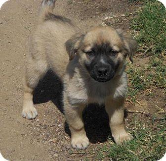 Golden Retriever/German Shepherd Dog Mix Puppy for adoption in Torrance, California - BELLA