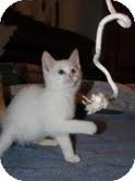 Siamese Kitten for adoption in Beacon, New York - Latte ($200)