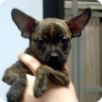 Boston Terrier/Jack Russell Terrier Mix Puppy for adoption in Greencastle, North Carolina - Eric