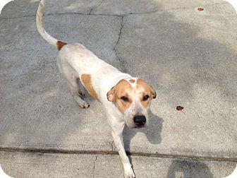 Spaniel (Unknown Type)/Hound (Unknown Type) Mix Dog for adoption in CHICAGO, Illinois - RUFUS