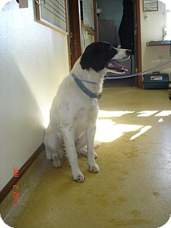 Great Pyrenees/Border Collie Mix Dog for adoption in Stilwell, Oklahoma - Sydney
