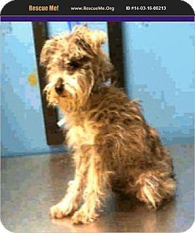 Schnauzer (Miniature)/Poodle (Miniature) Mix Dog for adoption in Boulder, Colorado - Phoenix-ADOPTION PENDING