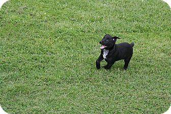 Labrador Retriever Mix Puppy for adoption in Morgantown, West Virginia - Alex