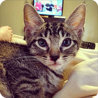 Domestic Shorthair Kitten for adoption in Knoxville, Tennessee - Hiccup