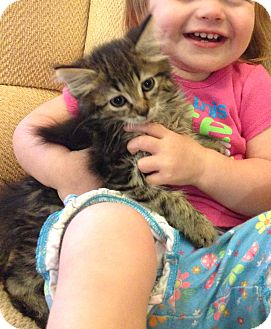 Maine Coon Kitten for adoption in Lombard, Illinois - Mustard