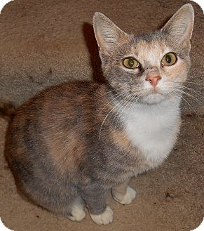 Calico Cat for adoption in Chattanooga, Tennessee - Emily