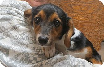 Beagle/Dachshund Mix Puppy for adoption in Salem, New Hampshire - Patrick